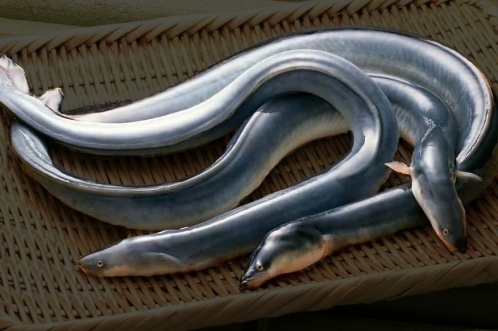 Japanese-eels-unagi